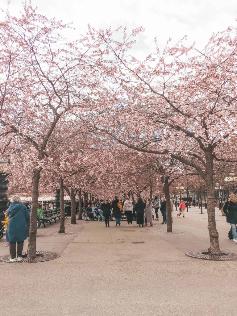 Living in Sweden - First Week in Stockholm - Cherry Blossoms